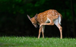Picture grass, pose, the dark background, glade, Bambi, deer, baby, fawn, hoof