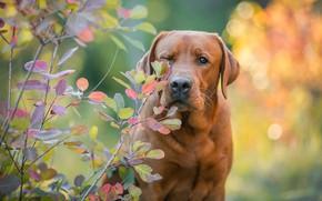 Picture autumn, look, face, leaves, light, branches, nature, pose, Park, background, foliage, portrait, dog, serious, Labrador, …