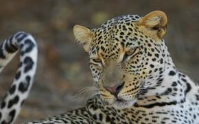 Picture face, pose, background, portrait, leopard, tail, bokeh