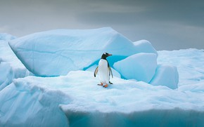 Picture winter, snow, nature, bird, ice, glacier, iceberg, penguin, floe, blue tones, Antarctica, block of ice