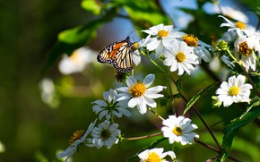 Picture summer, macro, flowers, butterfly, insect, white, cosmos