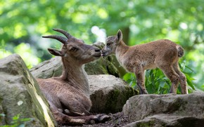 Picture language, light, stones, two, kiss, baby, pair, mom, goat, muzzle, bokeh, goats, poses, goat, goat, …