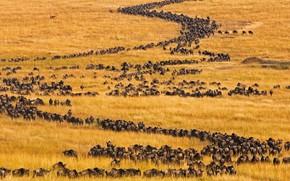 Picture Africa, Kenya, antelope, migration, Masai Mara, blue wildebeest