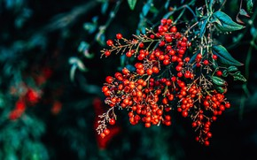Picture leaves, berries, the dark background, branch, fruit, red, bokeh