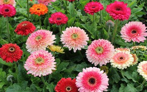 Picture flowers, gerbera, flowerbed