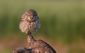 Picture the sun, nature, background, owl, bird, snag, bokeh