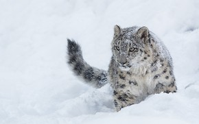 Picture winter, snow, IRBIS, snow leopard, young