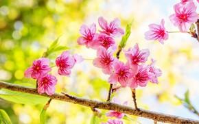 Picture branches, spring, Sakura, flowering, pink, blossom, sakura, cherry, spring, bloom