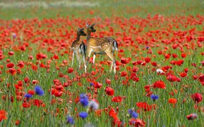 Picture nature, deer, field of poppies