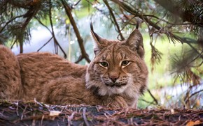 Picture branches, lies, lynx, needles, bokeh