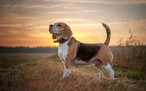 Picture field, the sky, dog, Beagle