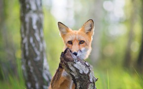 Picture forest, summer, grass, look, nature, pose, tree, glade, paw, stump, portrait, muzzle, Fox, trunk, red, …