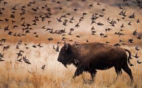 Picture birds, Utah, USA, National Park, Buffalo, The Island Of Antelope