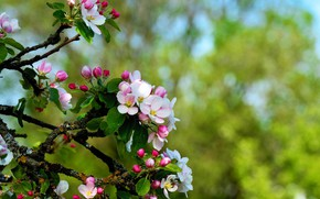 Picture branches, tree, Apple, flowering, bokeh