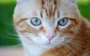 Picture cat, eyes, cat, look, portrait, red, muzzle, cat