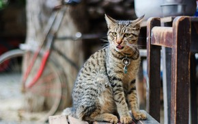 Picture language, cat, cat, look, bike, pose, grey, background, street, yard, chair, collar, sitting, striped