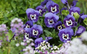 Picture flowerbed, Pansy, Viola
