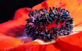 Picture flower, petals, anemone