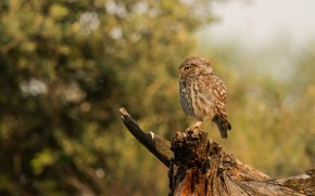 Picture forest, look, pose, background, owl, bird, foliage, stump, bitches, bokeh, blurred, motley, owl, sychik