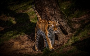 Picture summer, grass, look, face, light, nature, tiger, pose, tree, trunk, walk, wild cat