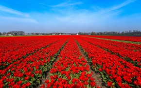 Picture field, flowers, blue, bright, spring, tulips, red, houses, a lot, the ranks, plantation, blue sky