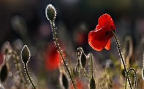 Picture drops, light, flowers, Mac, Maki, red, bokeh