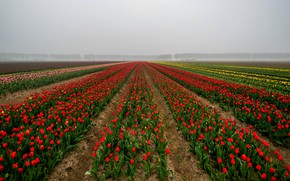 Picture field, the sky, trees, flowers, fog, perspective, spring, dal, morning, tulips, red, the ranks, field …