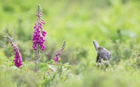 Picture greens, summer, grass, flowers, bird, glade, cuckoo, digitalis