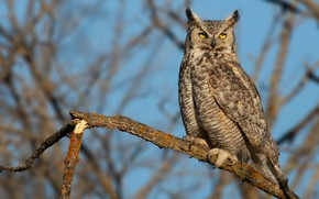 Picture look, branches, owl, bird, blue background, owl