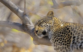 Picture face, tree, stay, sleep, leopard, sleeping, lies