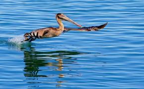Picture water, bird, wings, beak, Pelican