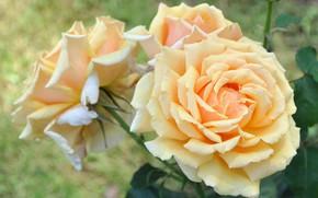 Picture roses, yellow, cream