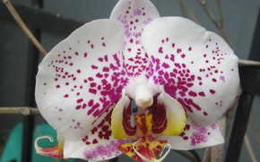 Picture flower, macro, orchid, phalaenopsis