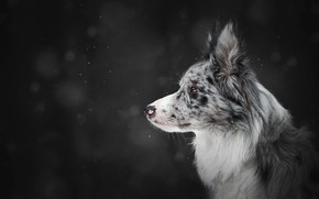 Picture winter, snow, the dark background, dog, profile, snowfall, bokeh, the border collie