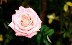 Picture macro, rose, Bush, branch