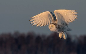 Picture the sky, look, flight, nature, owl, bird, wings, white, flies, polar, the scope, snowy owl
