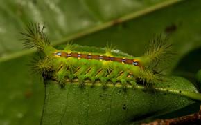 Picture macro, caterpillar, sheet, spiked
