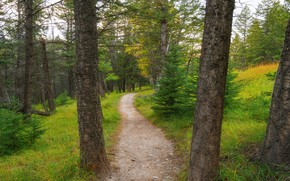 Picture road, forest, ate, track, pine, path