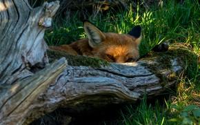 Picture summer, grass, look, face, light, tree, Fox, lies, red, snag, log, Fox