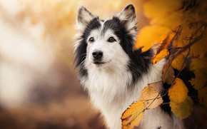 Picture autumn, look, face, branches, background, dog, yellow leaves