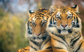 Picture predators, pair, tigers