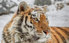 Picture winter, look, face, snow, tiger, background, portrait, snowfall, it covered