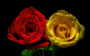 Picture drops, roses, pair