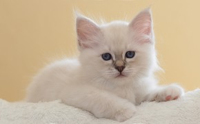 Picture white, look, pose, kitty, portrait, baby, muzzle, lies, fur, kitty, light background, ragdoll