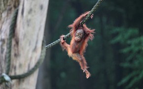 Picture baby, rope, orangutan