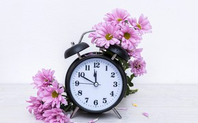 Picture flowers, table, watch, petals, alarm clock, white background, pink, chrysanthemum