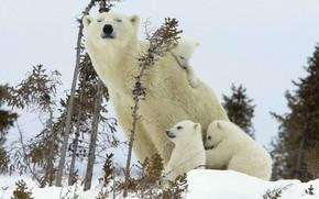 Picture family, polar bear, bear
