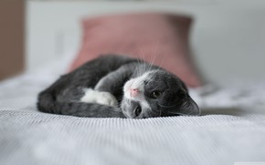Picture bed, cat, fluffy, lies, kitty