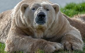 Picture face, the sun, nature, paws, wool, bear, lies, polar bear, resting, on the grass, bokeh