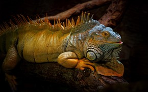 Picture nature, background, iguana